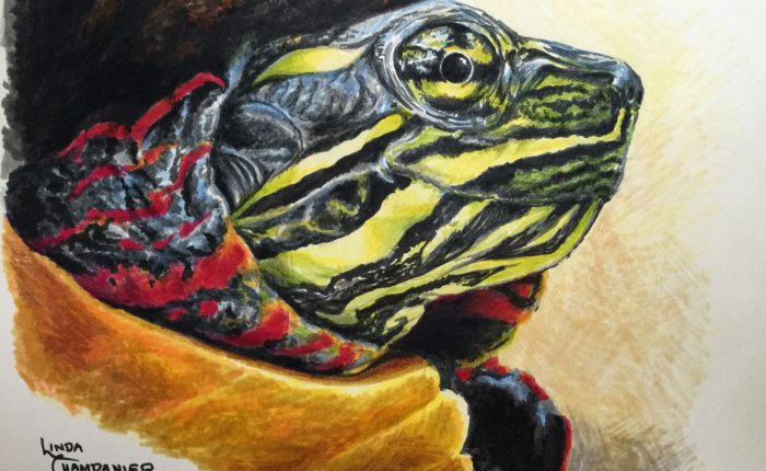 Linda Champanier drawing of painted turtle
